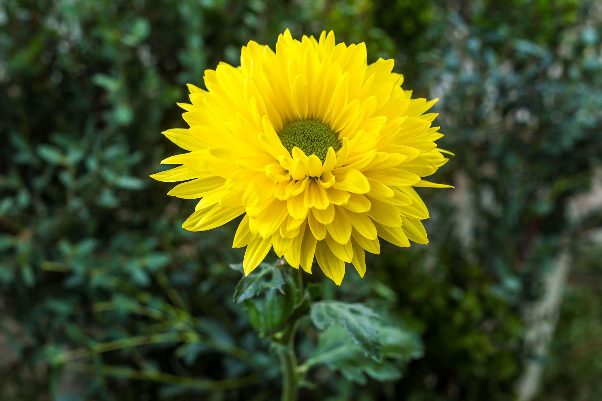 Miraflor flowers disbud v 6014 yellow delistar izmirmasajfo